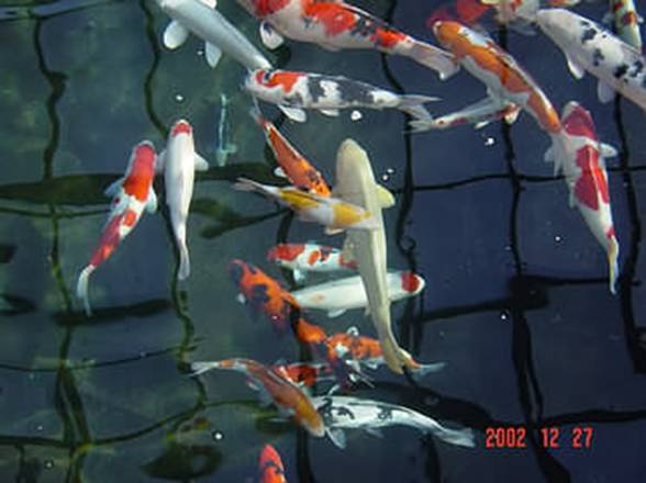 Ozone for aquaculture fish farming koi fresh water for Koi ponds durban